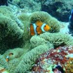 沖縄ダイビング☆5/1 15時半~ サンゴ体験スノーケル しおん